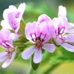 Natural Livings - 有機玫瑰天竺葵精油 (10ml)